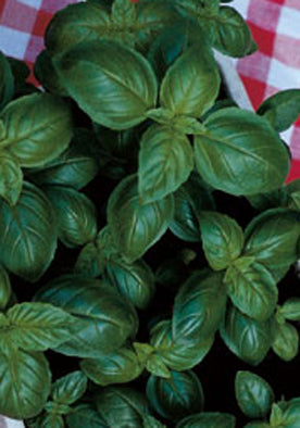 12 - Basil - Classic, Smooth Leaves