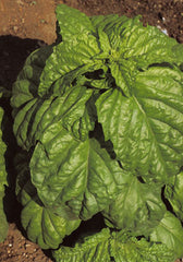 18 - Basil - Crinkly Leaves