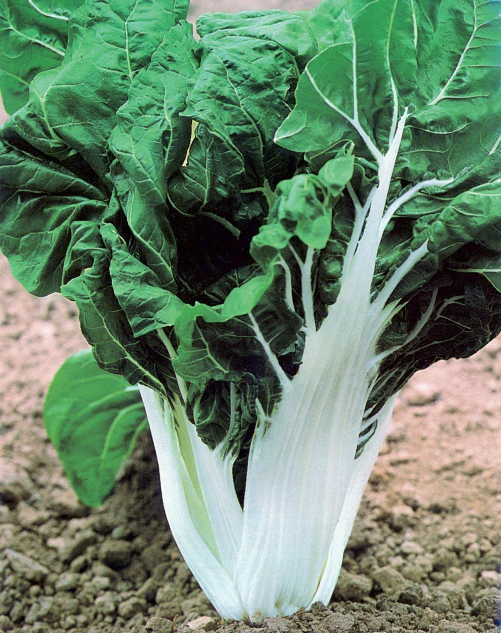 28 - Swiss Chard-Crinkly Leaves with white stalk
