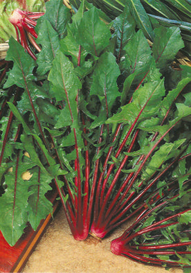 115 - Chicory-Red Stalk