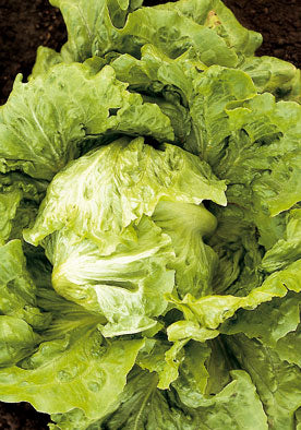 214 - Great Lakes Lettuce