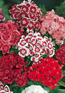 FL540 - Sweet William