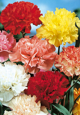 FL546 - Carnation Mix