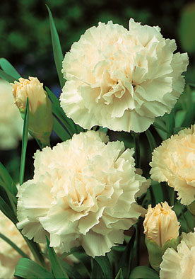 FL548 - White Carnation