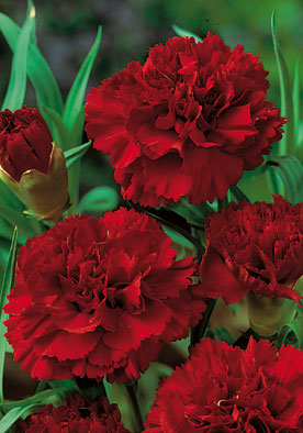 FL552 - Red Carnation