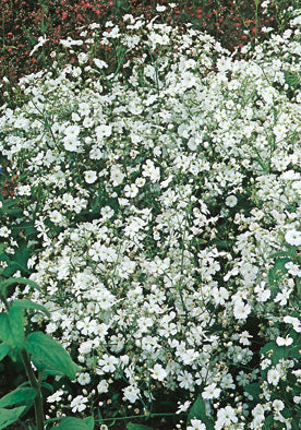 FL560 - Baby's Breath