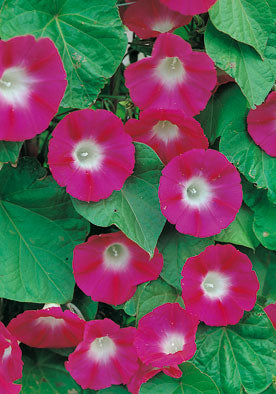 FL562 - Red Morning Glory