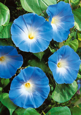 FL566 - Morning Glory Blue Ipomea Rubro-Carulela Blue