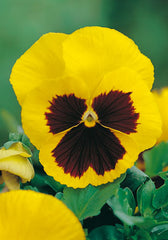 FL578 -Giant Yellow Pansy