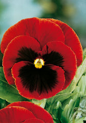 FL580 - Giant Red Pansy