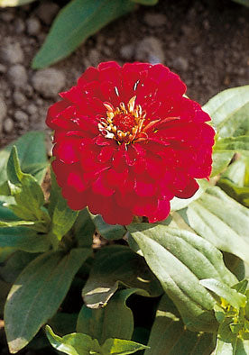 FL609 - Red Zinnia