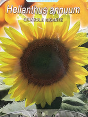 FL561 - Giant Mammoth Sunflower Girasole Gigante
