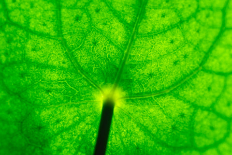 close up of the vascular tissue of a green leaf