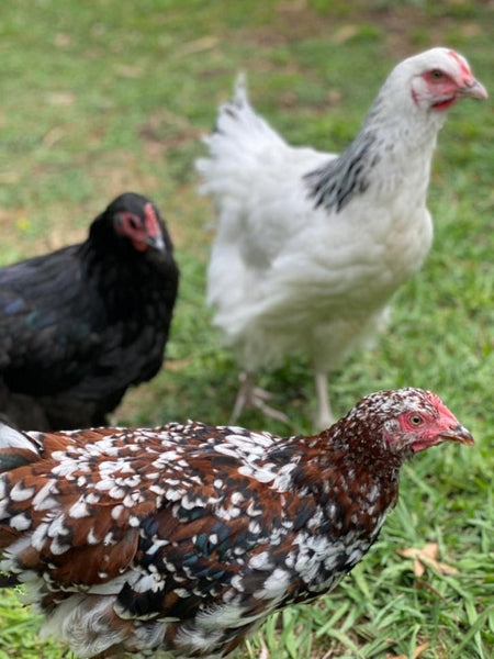 Keeping Chickens In The Backyard - Part 1 - How To Choose