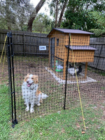 dog guarding our chickens