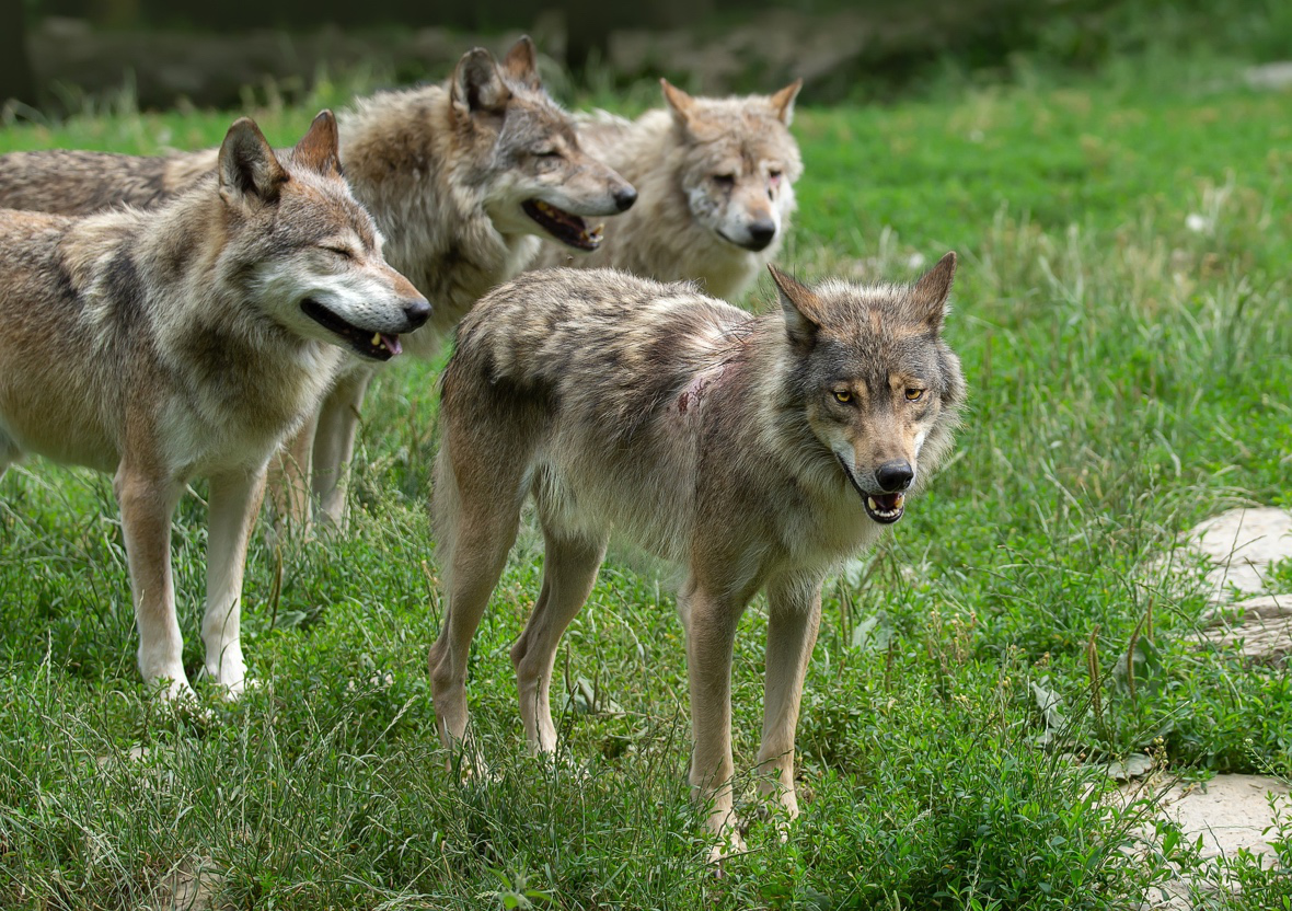Only captive wolves form dominance hierarchies