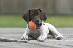 ball in puppies mouth