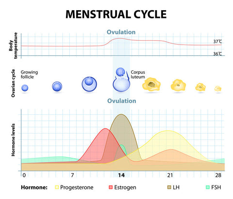LH Surge and Ovulation