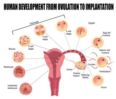 Ovulation and Conception
