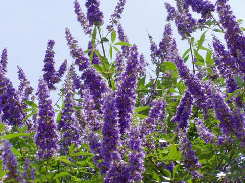 How can Vitex (Chaste berry) help me get pregnant? – BabyHopes