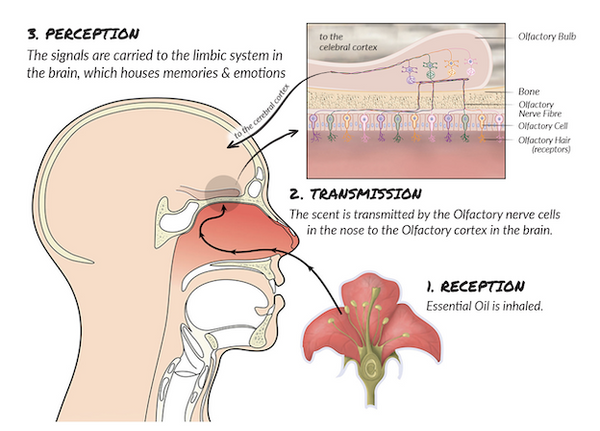 Science of Smell explained | Iryasa Blogs
