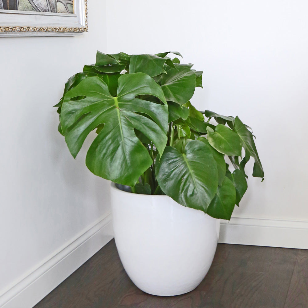 Large Houseplants