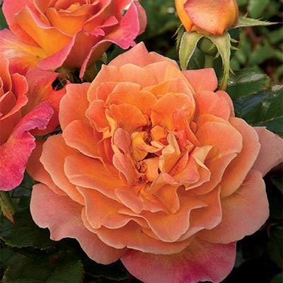 Floribunda | Rosie The Riventer