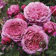 Floribunda | Queen of Elegance