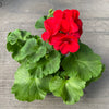 Geranium | Americana® Dark Red