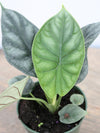 Alocasia 'Dragon Scale' 4""