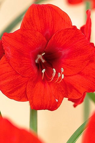 Amaryllis Red Lion Bulb
