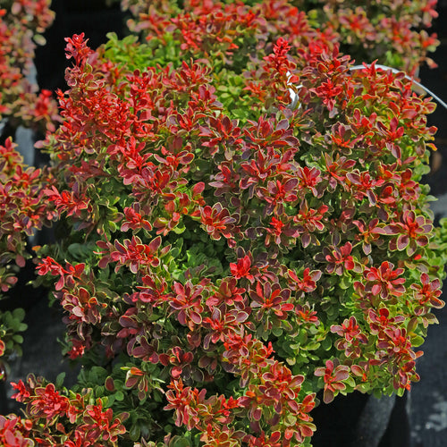 BARBERRY ADMIRATION 3G