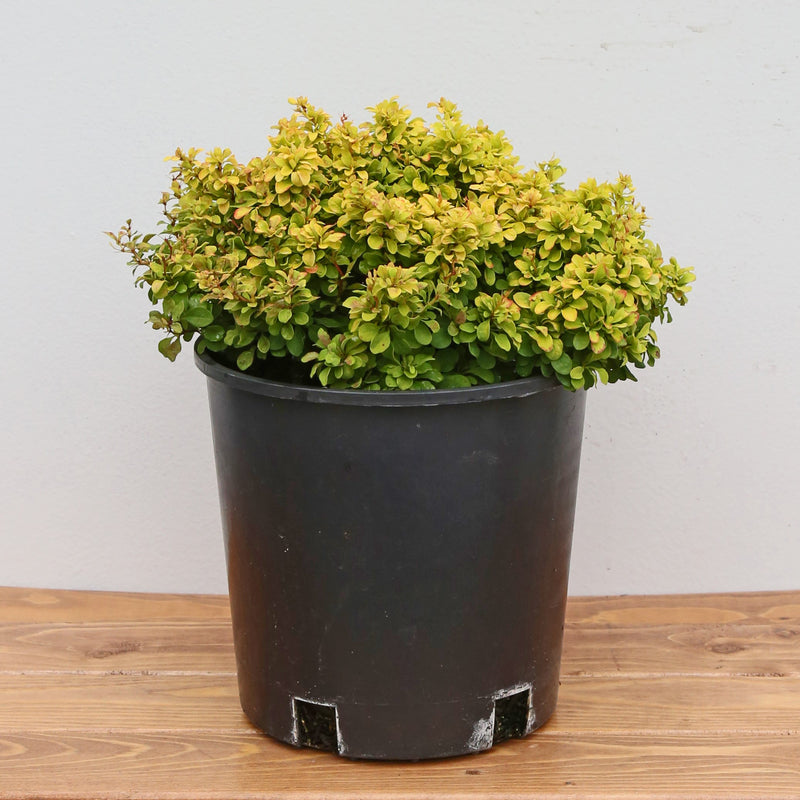 Barberry 'Gold Nugget'