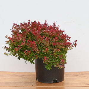 BARBERRY GOLDEN RUBY