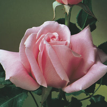 BEWITCHED | HYBRID TEA