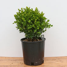 Load image into Gallery viewer, DWARF ENGLISH BOXWOOD
