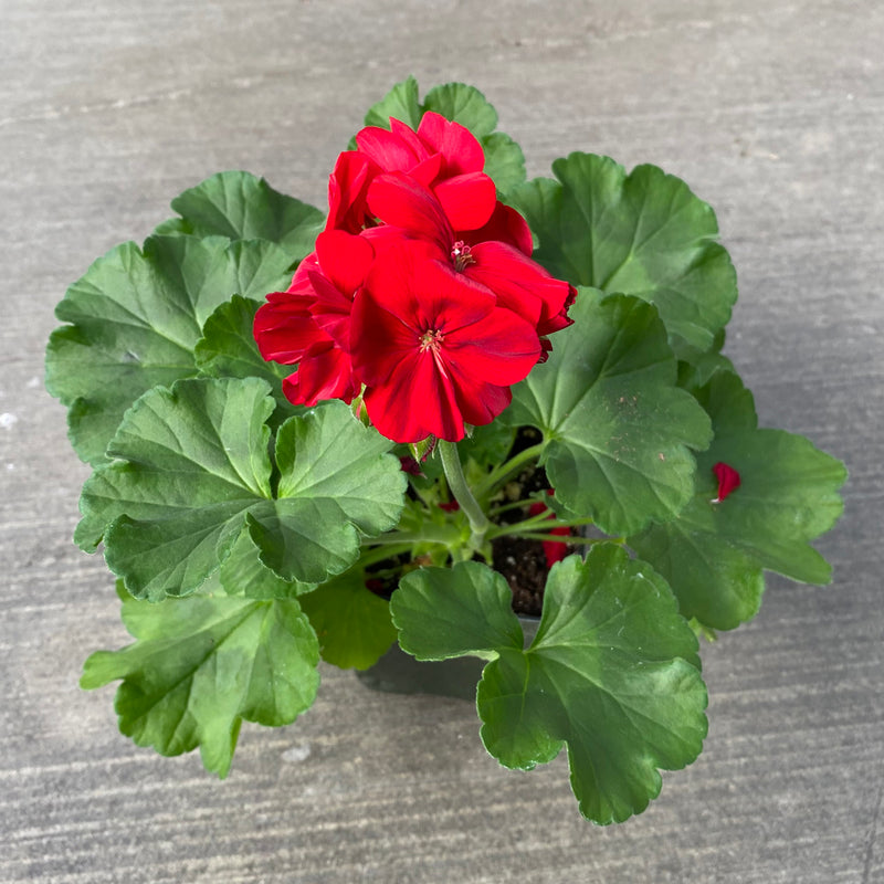 Geranium | Calliope® Large Dark Red