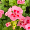Geranium | Calliope® Medium Pink Flame