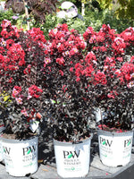Crapemyrtle 'Center Stage™ Red' 2G