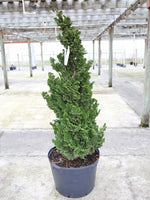 Chamaecyparis o Vokels Upright (Hinoki Cypress)