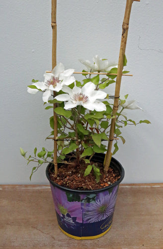 CLEMATIS KITTY 1G