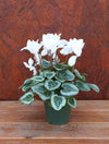 Cyclamen Metalis White 4""