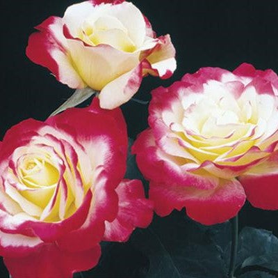 ROSE DOUBLE DELIGHT