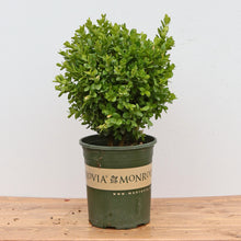 Load image into Gallery viewer, BOXWOOD GREEN BEAUTY