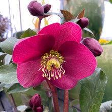 Load image into Gallery viewer, HELLEBORE ANNA'S RED 1G