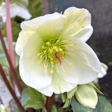 Load image into Gallery viewer, HELLEBORE FROSTKISS MOLLY'S WHITE 1G