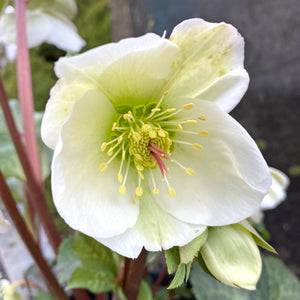 HELLEBORE FROSTKISS MOLLY'S WHITE 1G