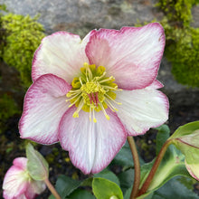 Load image into Gallery viewer, HELLEBORE ICE N' ROSES PICOTEE 1G