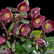 Load image into Gallery viewer, HELLEBORE ICE N' ROSES RED QT.