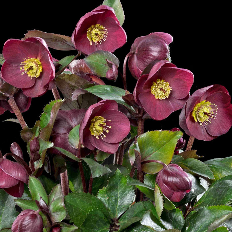 Hellebore Ice N' Roses Red